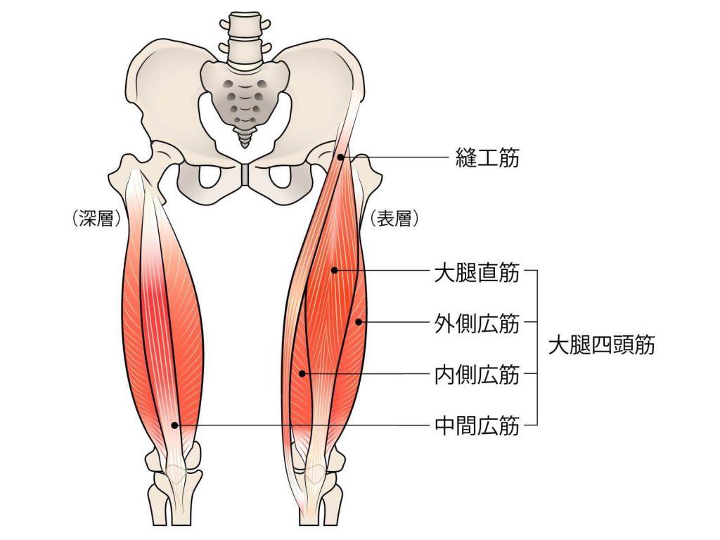 膝の内側の痛みの原因縫工筋の位置